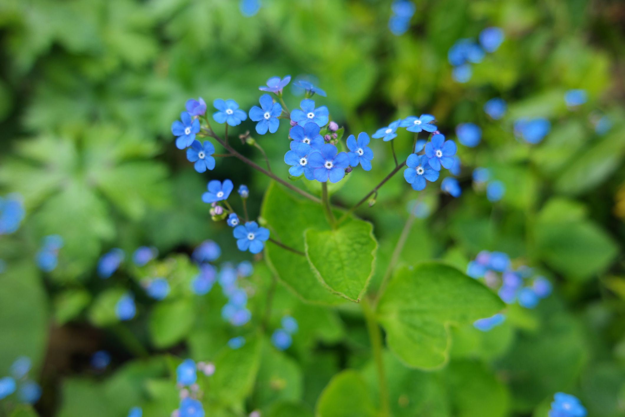 Diverting Sun Annual Flowers Shade Garden Forget Me Not Gettyimages