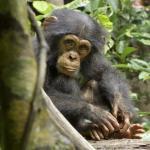 Chimpanzee Oscar