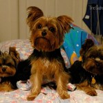 One Family, Six Yorkies And One Tasty Treat