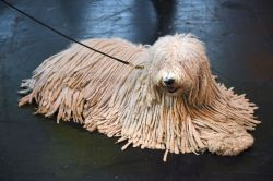Floor Dreadlocked Hungarian Puli Fee Is Most Dog That Looks Like A Mop Cost Little Dog That Looks Like A Mop Withher Tight Curls Making Her Virtually Water A Boy Take A Look At Some Hair