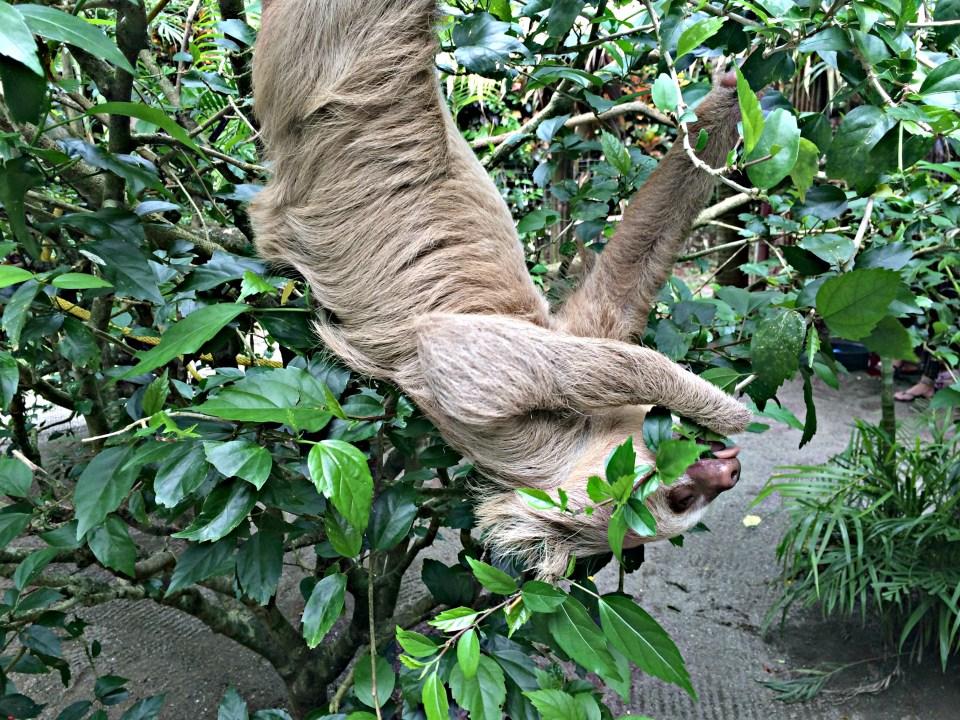 Sloth at the Jaguar Rescue Center in Puerto Viejo, Costa Rica