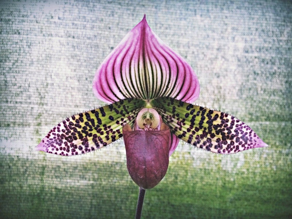 Purple and green orchid