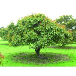 Small Crop Of Dwarf Avocado Tree