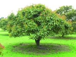 Small Of Dwarf Avocado Tree