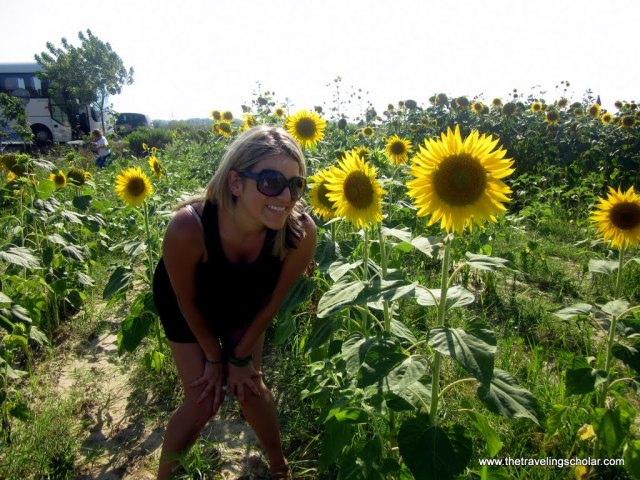 Sunflower Patch in Tuscany