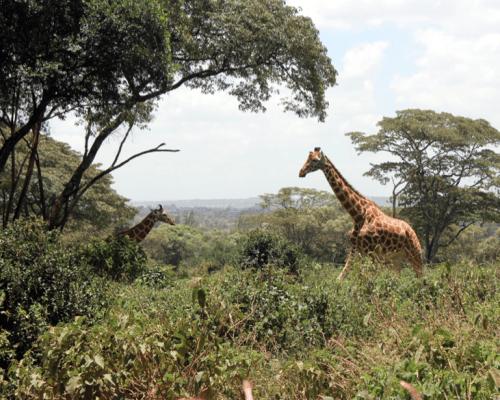 Giraffe Center, Nairobi, Kenya