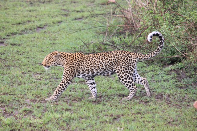 Leopard on Safari in Uganda, Queen Elizabeth National Park