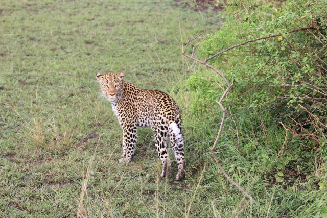 Leopard on Safari in Queen Elizabeth National Park, Uganda