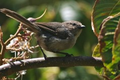 Bushtit in California Buckeye Tree