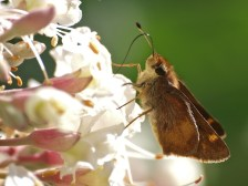Brown Skipper in California Buckeye Tree