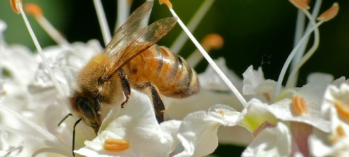 Honey Bee in Buckeye Tree