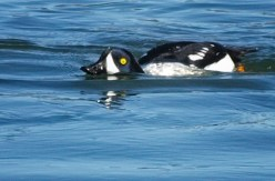 Barrow's Goldeneye swimming