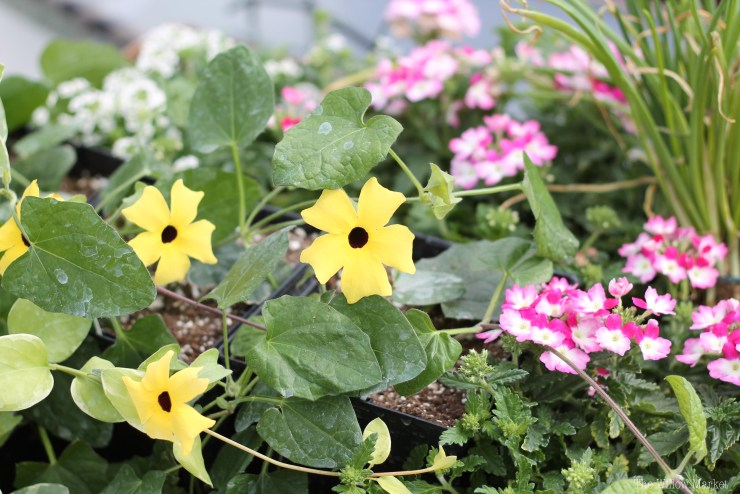 Lemon Yellow Thunbergia. A beautiful and full vining yellow flower. Perfect for a hanging basket.