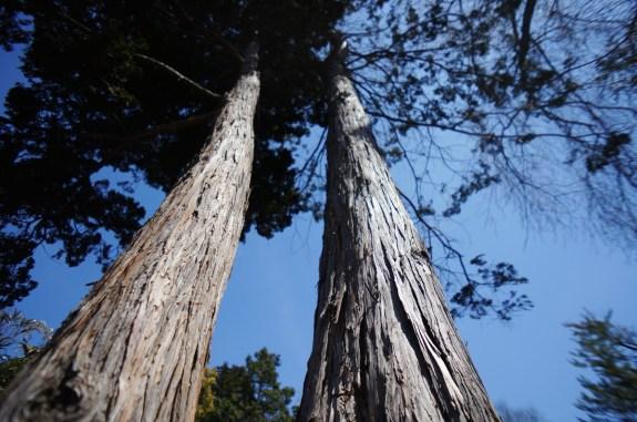 Hinoki, Japanese Cypress Tree