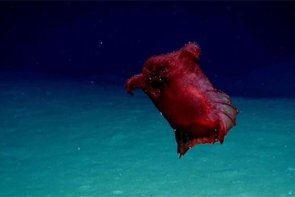 "Enipniastes eximia, the ""headless chicken monster"" (Photo credit: NOAA)"