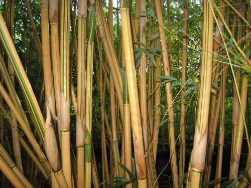 Aweinspiring Bambusa Multiplex Bambusa Multiplex Thigpen Trail Bamboo Farm Alphonse Karr Bamboo Dying Alphonse Karr Bamboo Shade