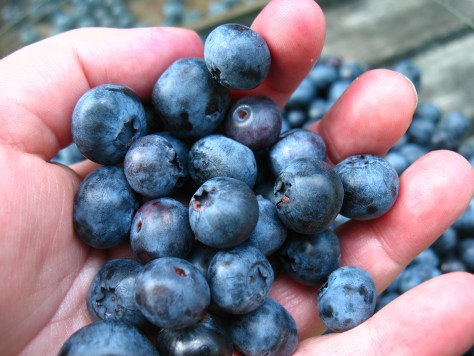 Jersey Fresh blueberries | pick your own farms in NJ | pick your own farms in New Jersey | NJ farms | New Jersey farms | blueberry picking NJ | blueberry picking New Jersey