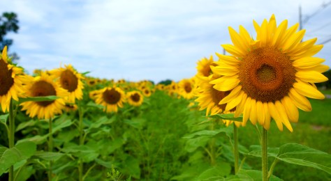 Take in the spectacular beauty of thousands of sunflowers as you meander your way through a NJ sunflower maze. | nj sunflower maze | new jersey sunflower maze | sunflower mazes in nj | sunflower mazes in new jersey