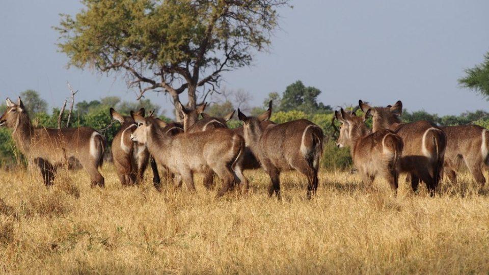 Water buck, Botswana