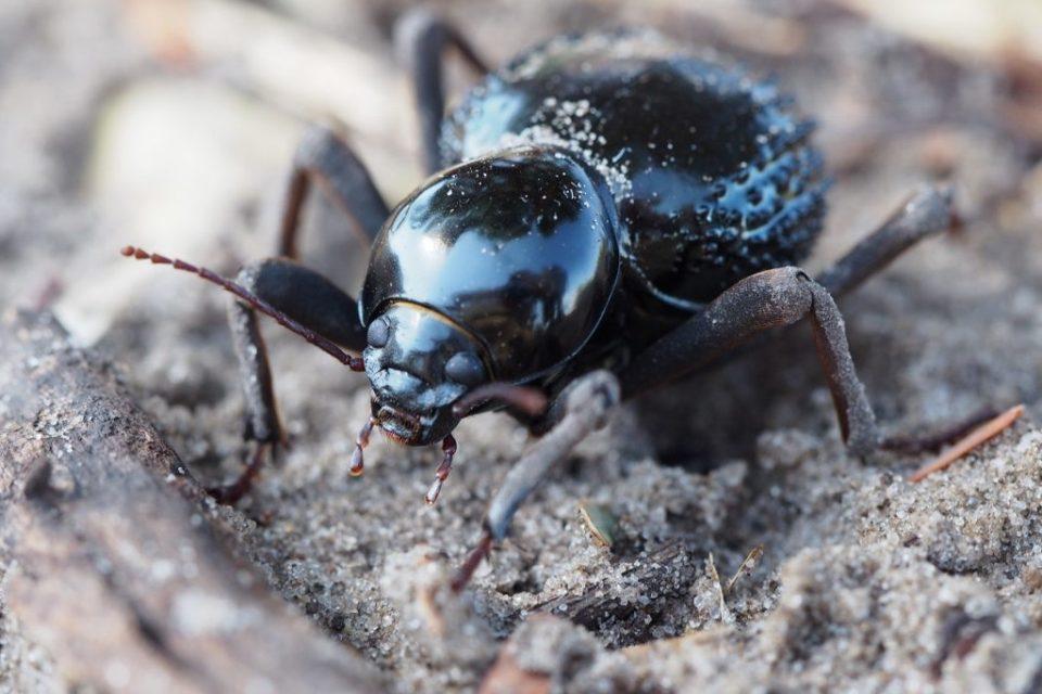 Beetle, Botswana