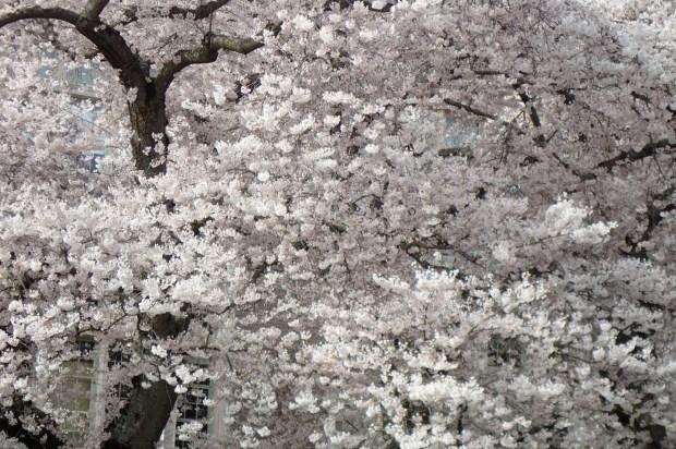Cherry blossoms, University of Washington
