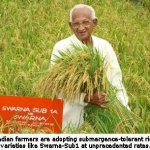 Food Security: Indian Farmers Adopt Flood-Tolerant Rice at Unprecedented Rates