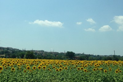 sunflowers-in-tuscany