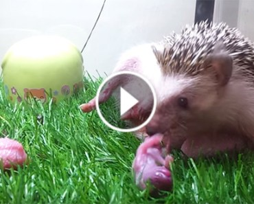 hedgehog-gives-birth