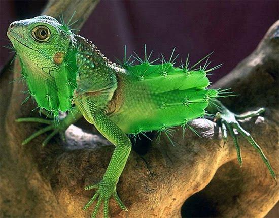 iguanacactus
