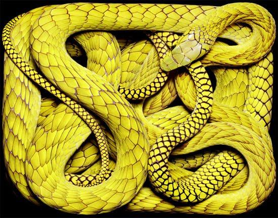 yellow-snake