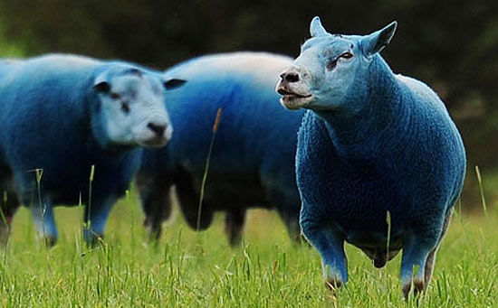bluesheep