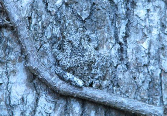 frog-tree