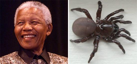 mandela-spider