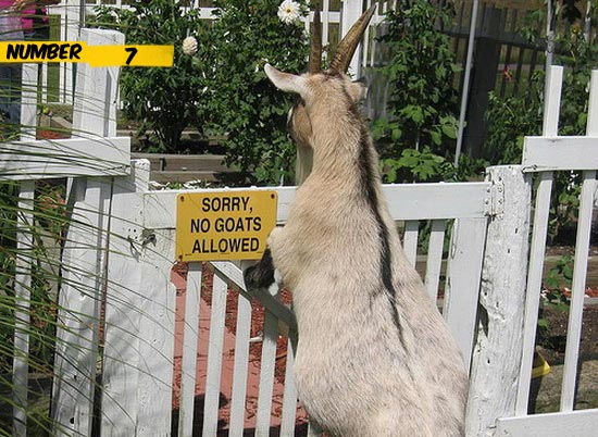 no-goats-allowed