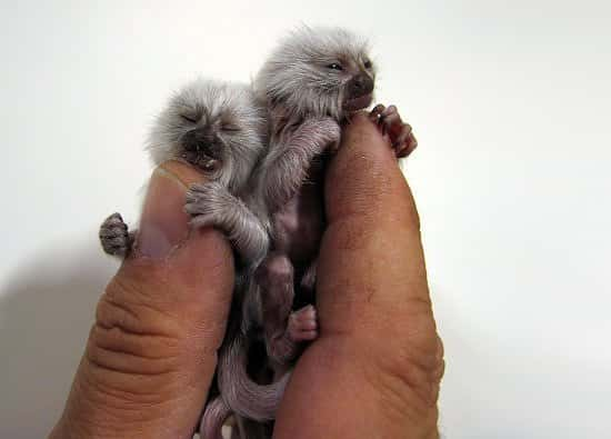 Finger monkey  Lapin