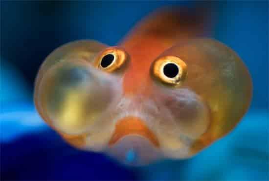 how to humanely kill my goldfish