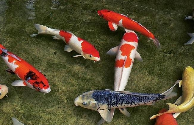 Oldest things on our planet this blog rules why go for Oldest koi fish