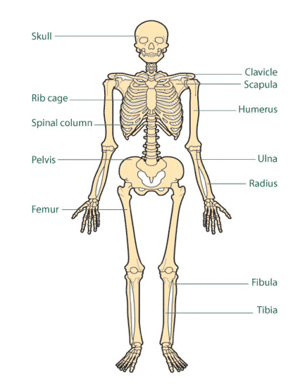 Bones and Incredible Facts about the Human Body