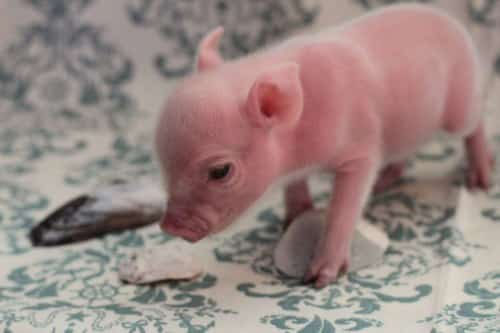 cute teacup pig