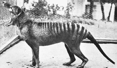 Extinct Animals and the Tasmanian Tiger