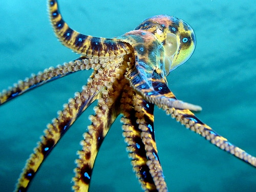 blue-ringed-octopus