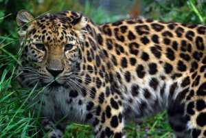 amur-leopard-5