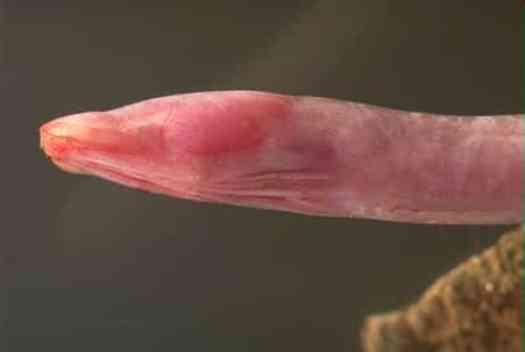 blind-eel-deep sea creatures