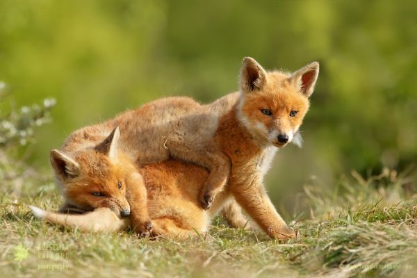 Amazing Facts About Foxes Include Their Range