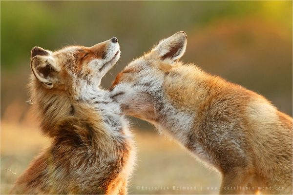 Magnetic Field Detection Is One Of The Amazing Facts About Foxes