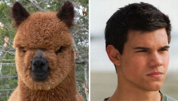The Most Popular Of Celebrity Lookalikes - Taylor Lautner/Alpaca