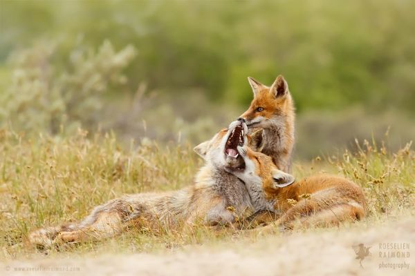Very Playful - Amazing Facts About Foxes