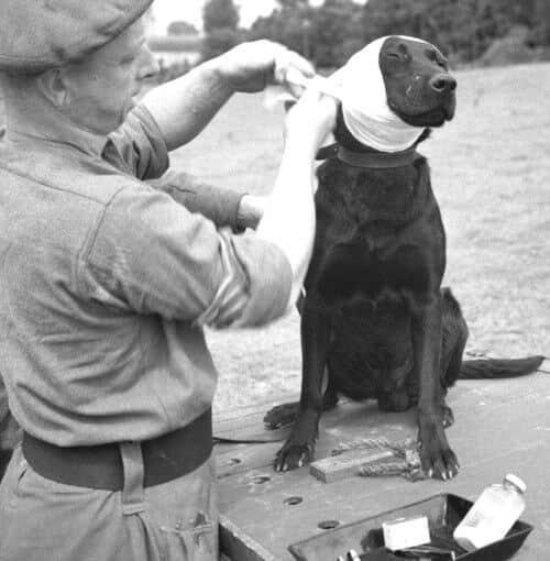 Rare historical photos of warfare dogs