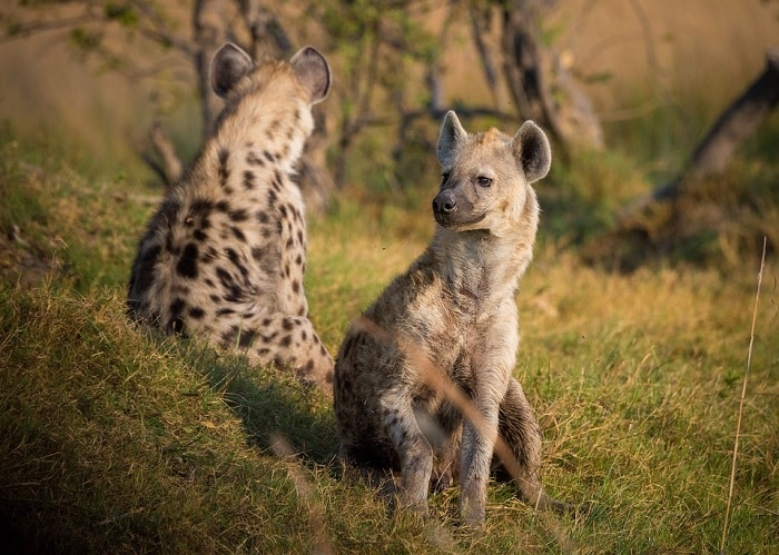 a group of hyenas