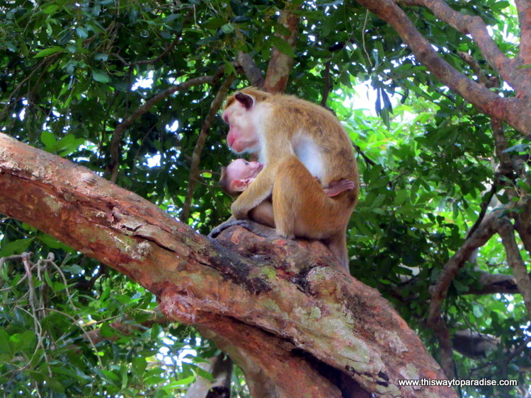 Mother and Baby Monkey, Yala National Park, Sri Lanka
